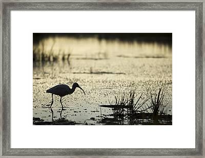 White Ibis Morning Hunt Framed Print
