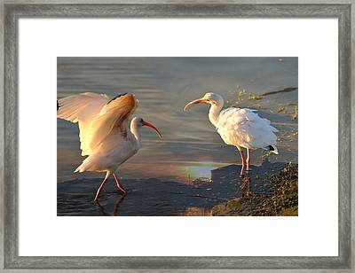 White Ibis - Ready For The Roost Framed Print