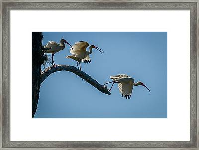 White Ibis Takeoff Framed Print