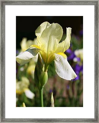 White Iris 2 Framed Print by Bruce Bley