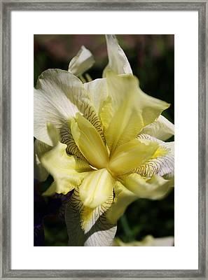 White Iris Framed Print by Bruce Bley