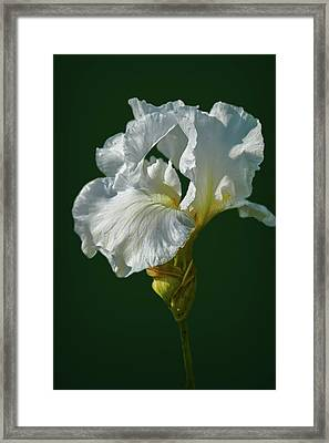 White Iris On Dark Green #g0 Framed Print