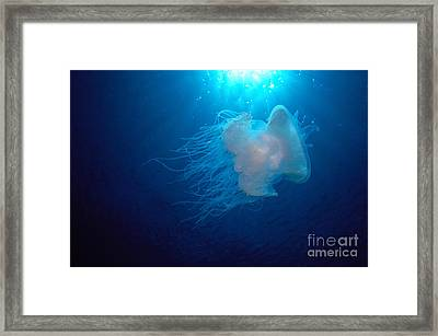 White Jellyfish Framed Print by Dave Fleetham - Printscapes