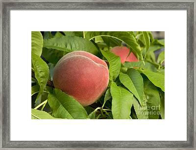 White Lady Peach On A Branch Framed Print