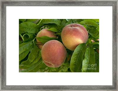 White Lady Peaches On A Branch Framed Print