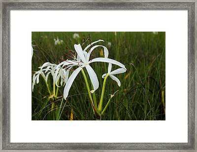 White Lilies In Bloom Framed Print