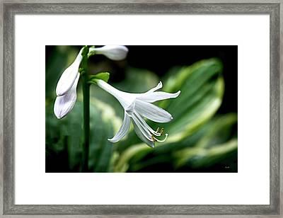 White Lily 1 Framed Print