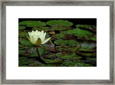Framed Print featuring the photograph White Lily In The Pond by Amee Cave