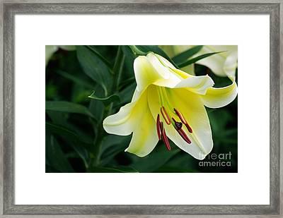 White Lily  Framed Print