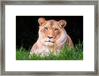 Framed Print featuring the photograph White Lion by Alexey Stiop