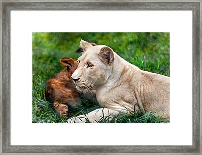 White Lion Cub Framed Print by Jenny Rainbow