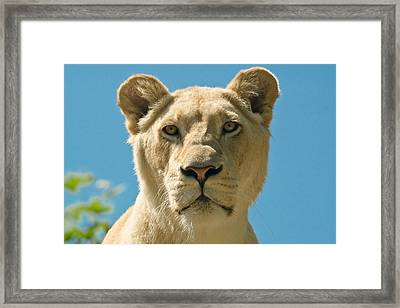 White Lion Framed Print by Scott Carruthers