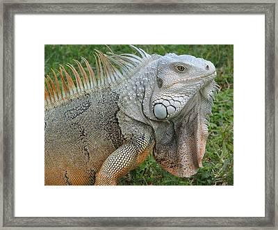 White Lizard Framed Print