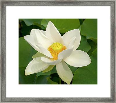 White Lotus Framed Print by Elvira Butler