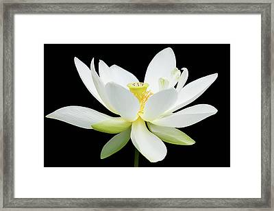 White Lotus On Black Framed Print by Dawn Currie
