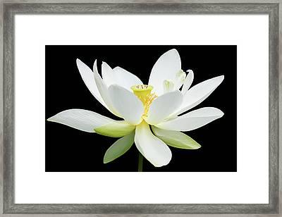 White Lotus On Black Framed Print