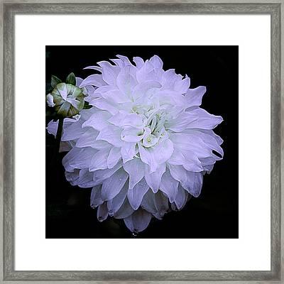 White Louie Meggos Dahlia Framed Print