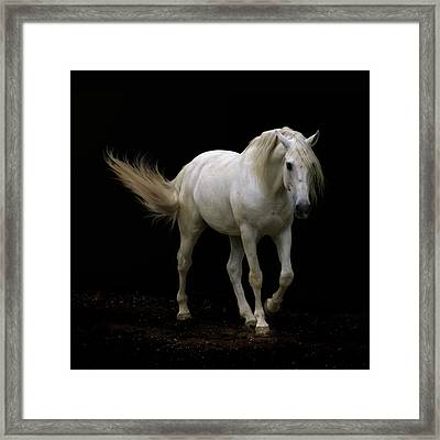 White Lusitano Horse Walking Framed Print