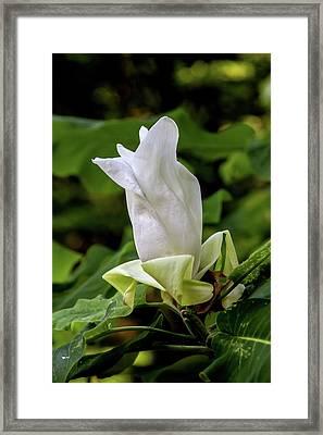 White Magnolia Bloom Framed Print by John Haldane