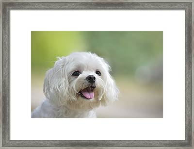 White Maltese Dog Sticking Out Tongue Framed Print by Boti
