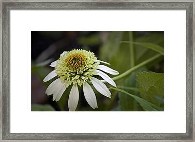 White Milkshake Coneflower Framed Print by Teresa Mucha
