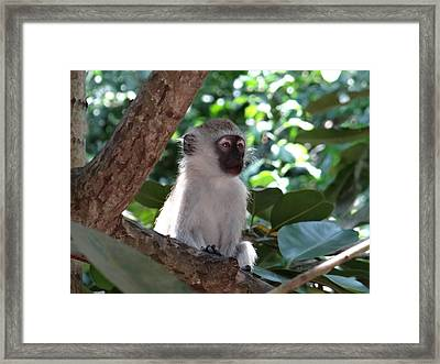 White Monkey In A Tree 1 Framed Print