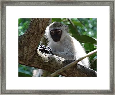 White Monkey In A Tree 4 Framed Print
