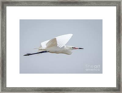 White Morph Reddish Egret Framed Print by Debra Martz