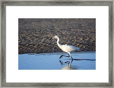 White Morph Reddish Egret Framed Print by Don Columbus