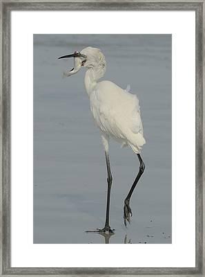 White Morph Reddish Egret  With Mullet Framed Print by Bradford Martin