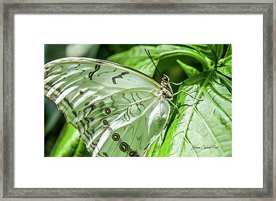 Framed Print featuring the photograph White Morpho Butterfly by Joann Copeland-Paul