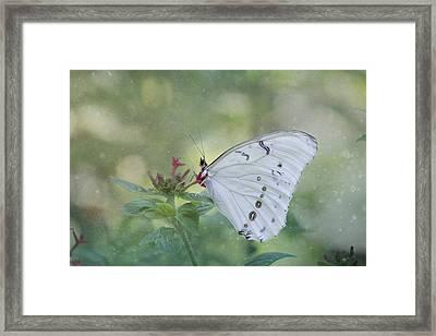 White Morpho Butterfly Framed Print