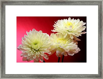 White Mums Against Red Framed Print by Laura Mountainspring