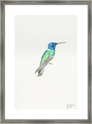White-necked Jacobin Framed Print