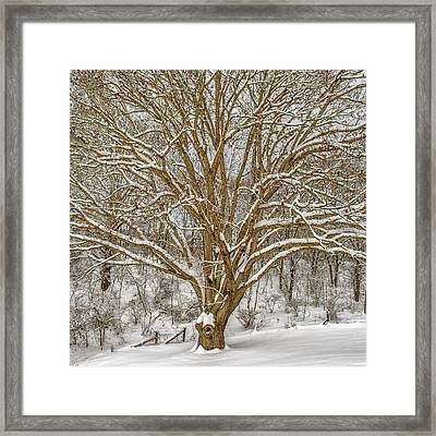 White Oak In Snow Framed Print
