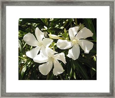White Oleander Flowers Framed Print