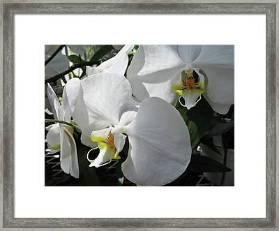 White Orchid Bloom Duo Framed Print by Tony Grider