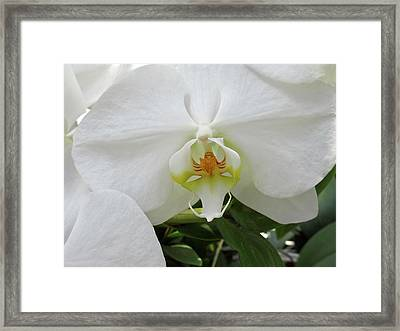 White Orchid Bloom Framed Print by Tony Grider