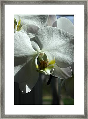 White Orchid In Spring Framed Print by David Bearden