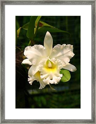 White Orchid Singapore Framed Print