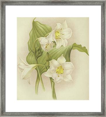 White Orchids   Eucharis Sanderiana Framed Print by English School