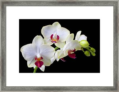 White Orchids Framed Print by Garry Gay