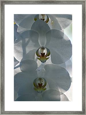 Framed Print featuring the photograph White Orchids  by Teresa Blanton