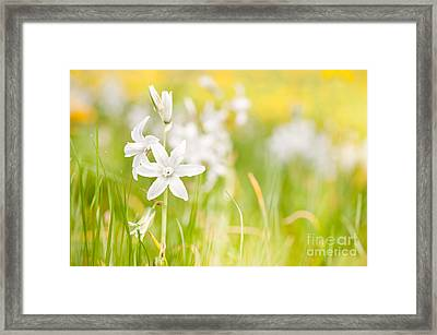 White Ornithogalum Nutans Blooming Framed Print by Arletta Cwalina