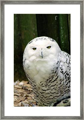 White Owl Framed Print by Rainer Kersten