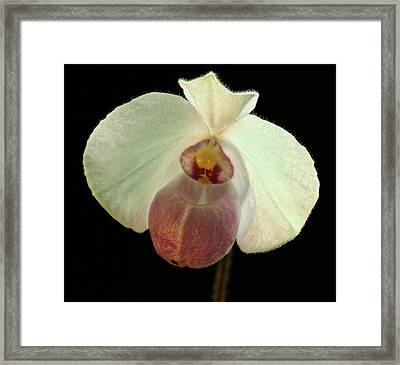 White Paphiopedium Framed Print by Jean Noren