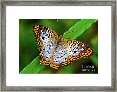 White Peacock Butterfly Framed Print