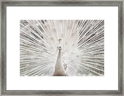 White Peacock, Lahore Framed Print by pharan Tanveer