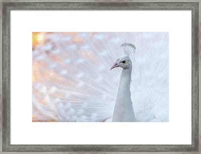 Framed Print featuring the photograph White Peacock by Sebastian Musial