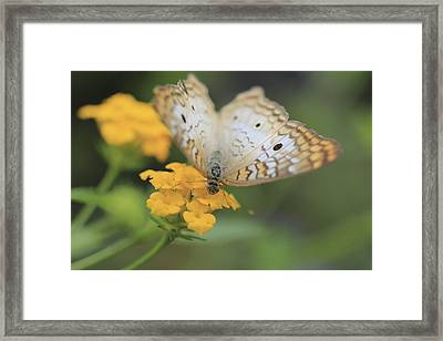 White Peacock Framed Print